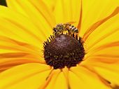 stock photo of black-eyed susans  - A bee gathers pollen from a black eyed susan daisy - JPG
