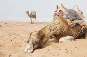 Постер, плакат: Верблюды в пляж