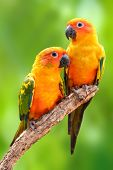 stock photo of sun perch  - Couple of Sun Conure Parrot perching on a branch