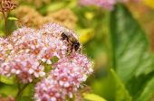 picture of meadowsweet  - bee on Spiraea Spring on the beautiful and sunny meadow - JPG