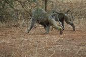 Monkeys Strolling