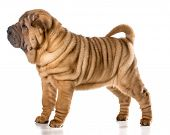 stock photo of shar-pei puppy  - chinese shar pei puppy standing isolated on white background  - JPG