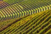 Rows of yellow and green vineyards on the hills of Piedmont, Northern Italy in autumn.
