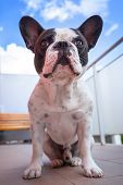 French bulldog on the balcony
