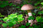 picture of bolete  - Birch bolete mushroom in the forest - JPG