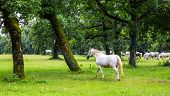 picture of lipizzaner  - Lipizzaner horses in the meadow of Slovenia - JPG