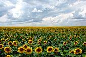 Sunflowers Under Cloudy Sky