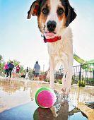 a cute dog having fun at a local public pool (focus on the ball)