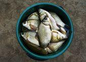 Fish Crucian (river Carp)