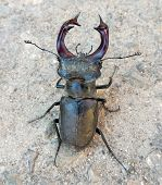Stag beetle close-up