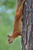 Red squirrel on a pine tree