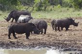 Herd of Rhinocerous on muddy riverbank