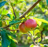 Red Apples On Apple Tree Branch