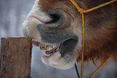Palomino Horse Cribbing Wooden Fence