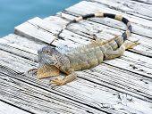 Iguana Resting On Wooden Bridge