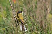 stock photo of mockingbird  - yellow wagtail warble in Danube Delta Romania