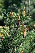 stock photo of pinus  - Pinus mugo, Needles and buds close up