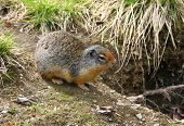 picture of marmot  - A marmot takes a look around besides an entrance to his burrow - JPG