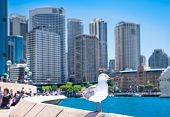 Seagull in front of Sydney harbor city in suny day. Australia.