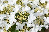 Close up view of the beautiful Doublefile Viburnum botanical name Viburnum plicatum var. tomentosum 'Mariesii'