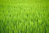 Rice Plant In Paddy Field