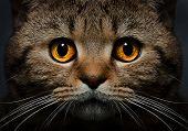 Portrait of Scottish Straight cat