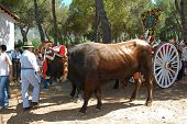 Bulls and herder, Marbella.