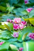 Pink lotus flowers blooming in a early summer pond.