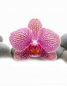 Macro of pink orchid with stones on wet background