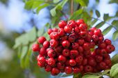 picture of rowan berry  - Rowan berries - JPG