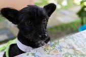 image of mongrel dog  - mongrel black dog wearing green cloth sitting beside the table  - JPG