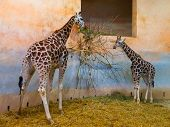 Two giraffes eating in the zoo