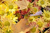Autumn Flowers. Chrysanthemum. Maple Leaves On Top. Marguerite.