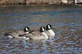 Three Canada Geese Swimming In The Blue Water
