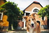 Red Border Collie Walking In Szentendre