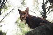 Red Border Collie Dog Sitting On A Log