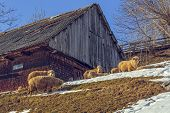 foto of counting sheep  - Sunny winter scene with traditional Romanian wooden hut and sheep grazing nearby in Magura village Brasov count Romania - JPG