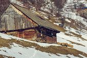 image of counting sheep  - Traditional Romanian wooden house with sheep resting nearby during winter in Magura village Brasov count Romania - JPG