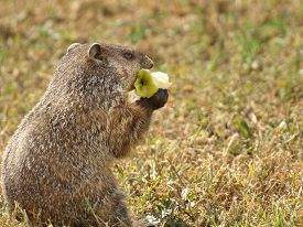 stock photo of groundhog  - Personified common groundhog holding and eating an apple - JPG