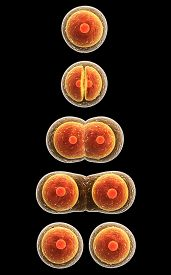 picture of zygote  - Process division of cell - JPG