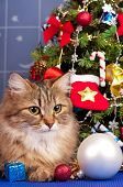 picture of blue spruce  - Beautiful siberian cat near Christmas spruce with gifts and toys over blue background - JPG