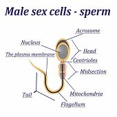 stock photo of sperm cell  - Diagram of the male sex cells  - JPG