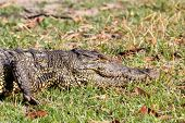 picture of crocodile  - Portrait of a Nile Crocodile Crocodylus niloticus Chobe National Park in Botswana - JPG