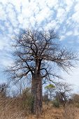 image of baobab  - Lonely old baobab tree  - JPG