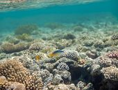 stock photo of red snapper  - Bird wrasse - gomphosus caeruleus female swiminng in red sea near corals ** Note: Soft Focus at 100%, best at smaller sizes - JPG