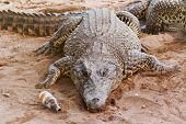 stock photo of crocodiles  - Cuban crocodile  - JPG