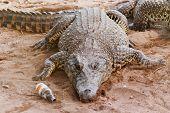 stock photo of crocodile  - Cuban crocodile  - JPG
