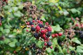 picture of blackberries  - Blackberry bunch on a bush in a garden in England - JPG