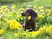 stock photo of dachshund  - purebred miniature dachshund and dandelions - JPG