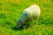 image of pastures  - Sheep on pasture on beautiful mountain meadow in Norway - JPG